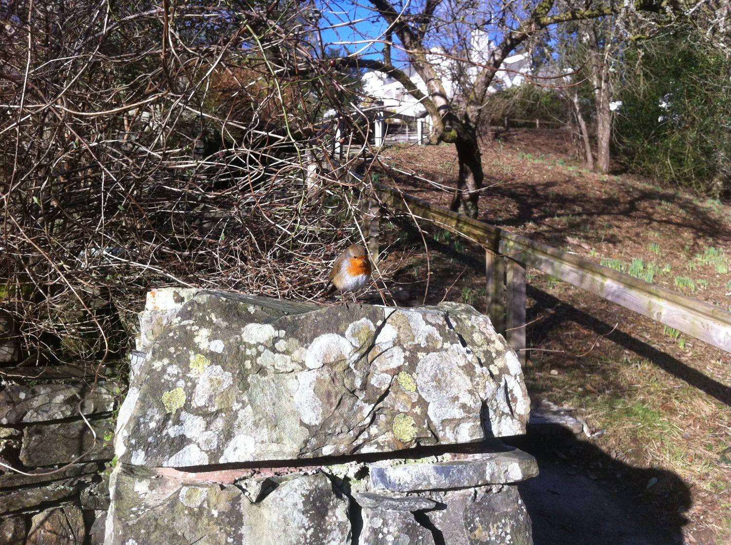 Robin playfully skipping along the wall next to us